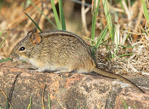 Four-striped mouse