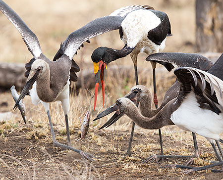Saddle-billed Stork with fledged young