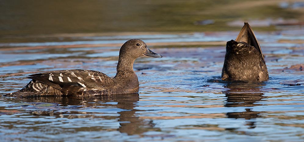 African Black Duck pair