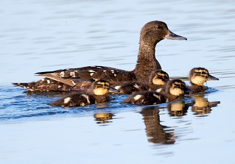 African Black Duck with ducklings