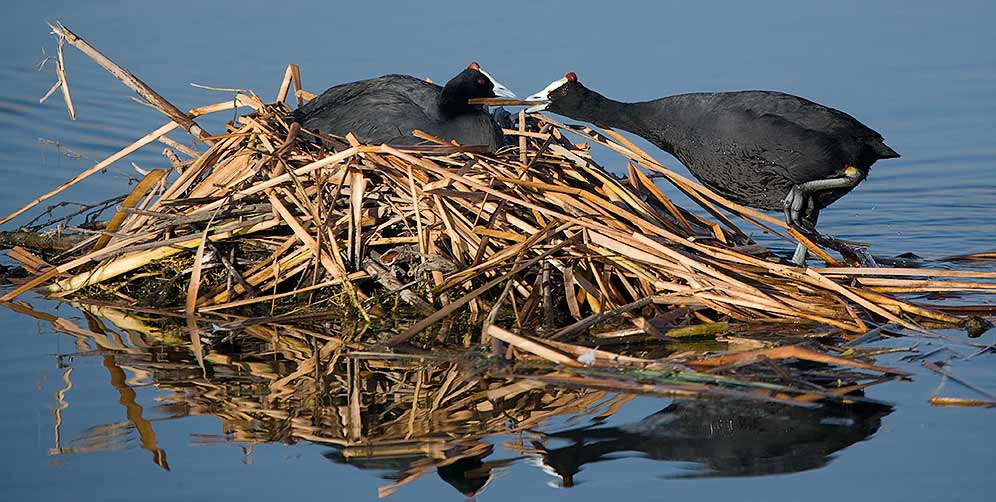 Red-knobbed Coot pair at nest