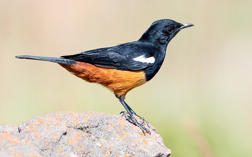 Mocking Cliff Chat male