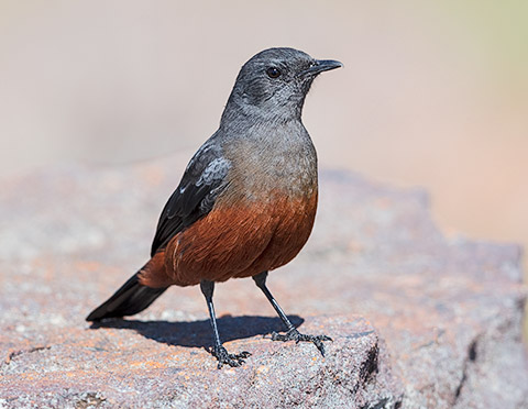 Mocking Cliff Chat female