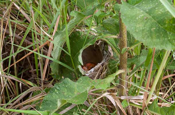 Red-faced Cisticola nest with chicks
