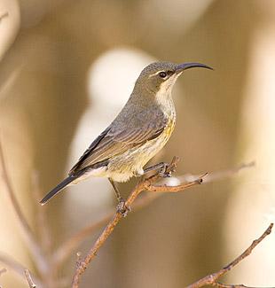 Nectarinia Mariquensis 779-Marico-Sunbird-03482
