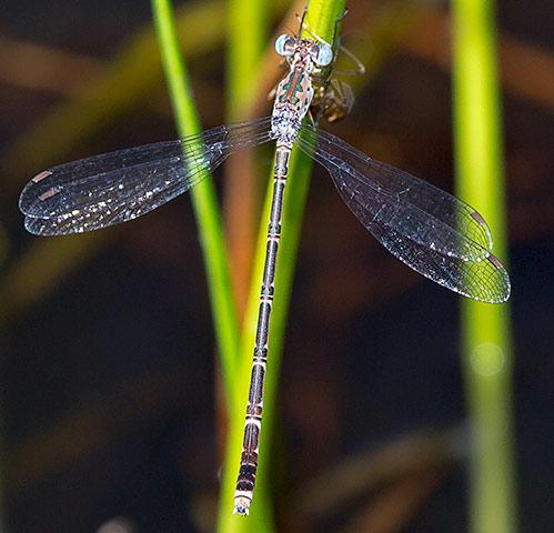 Lestes tridens female