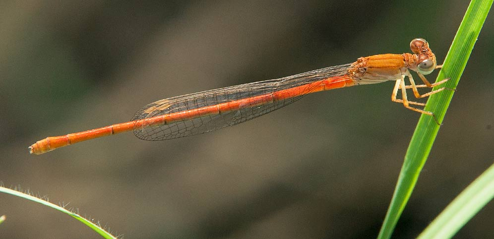 Ceriagrion suave