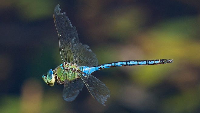 Anax imperator Blue Emperor male in flight