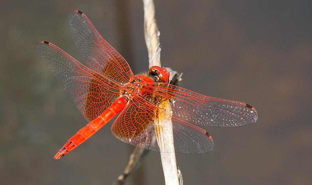 Trithemis kirbyi male