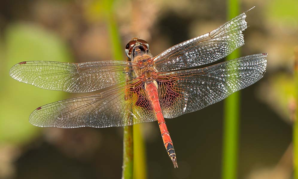 Tramea basilaris male