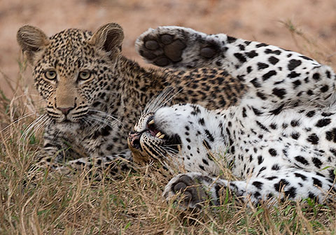 Leopard female playing with cub