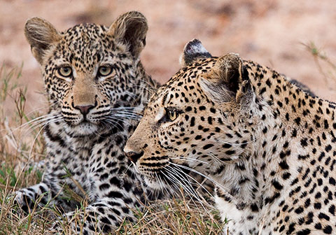 Leopard female with cub