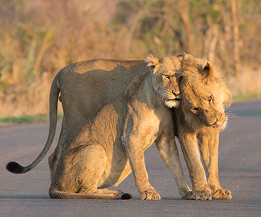 Lion courting pair