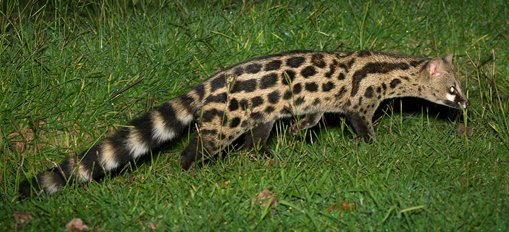 South African large spotted genet