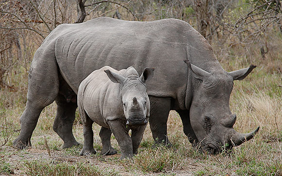 White Rhinoceros female with calf