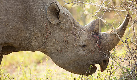 Black rhinoceros head