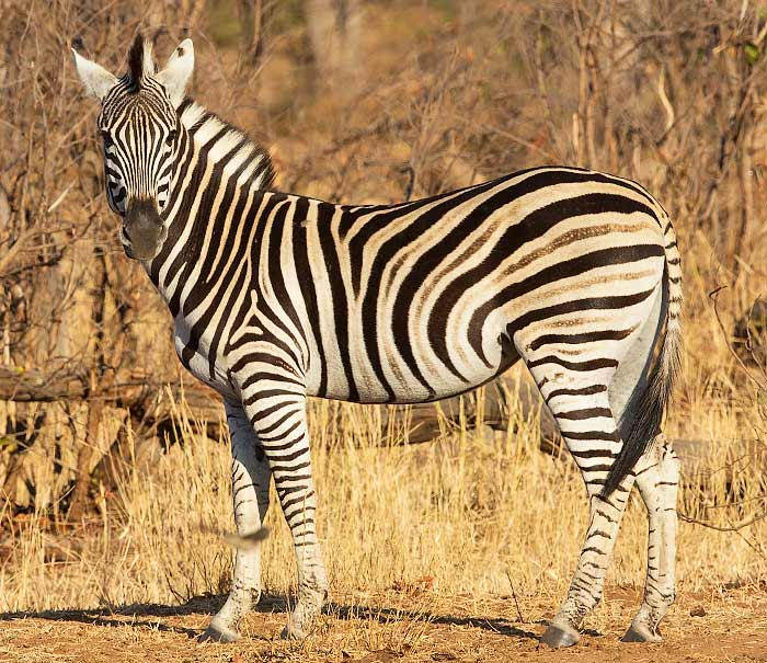 Plains zebra showing shadow stripes