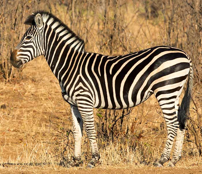 Plains zebra without shadow stripes