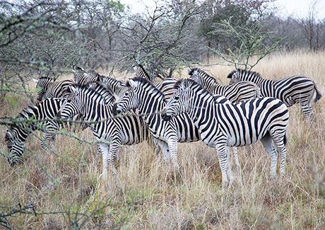 Plains zebra group