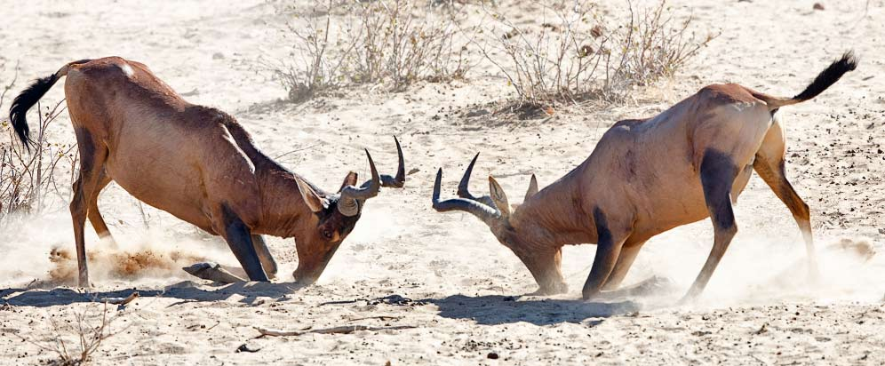 Red hartebeest fighting