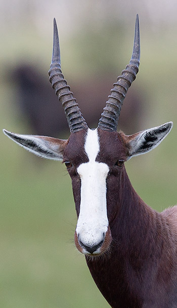 Bontebok head closeup