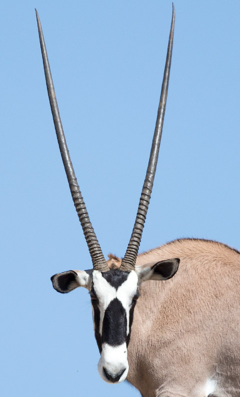 Gemsbok  Oryx head