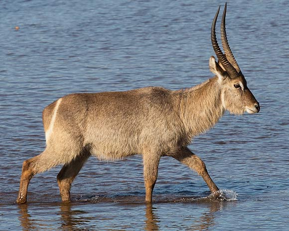 Waterbuck walking in water