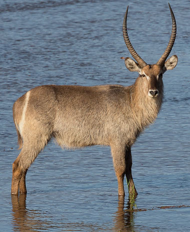 Waterbuck male