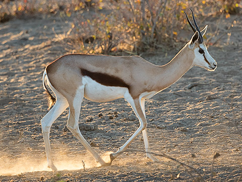 Springbok female