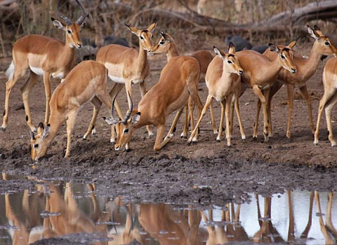 wary Impala herd at water