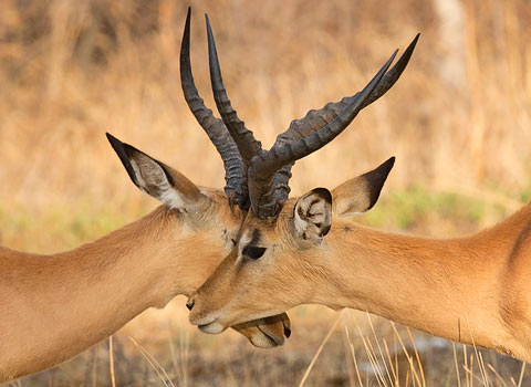 two Impala males