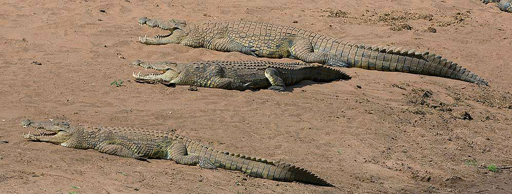 Nile crocodiles sunbathing